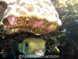 Peek-a-Boo, Porcupine fish hiding away under the reef by Martin Richardson 